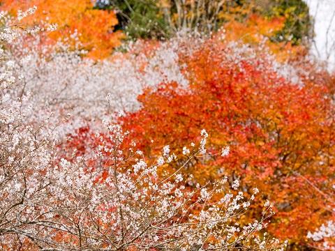 05四季桜(2)