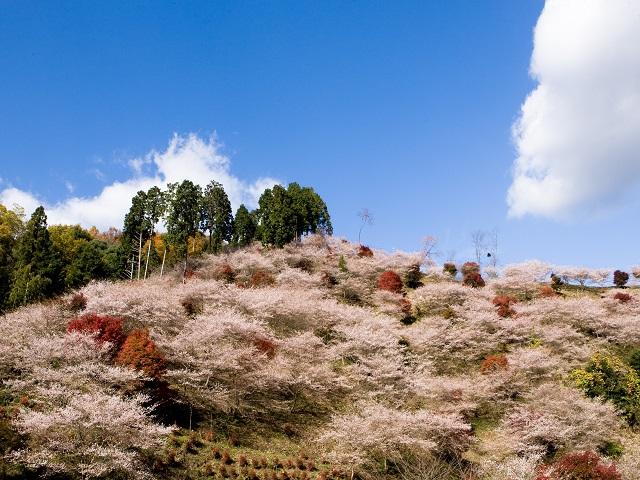 Cherry trees of four seasons