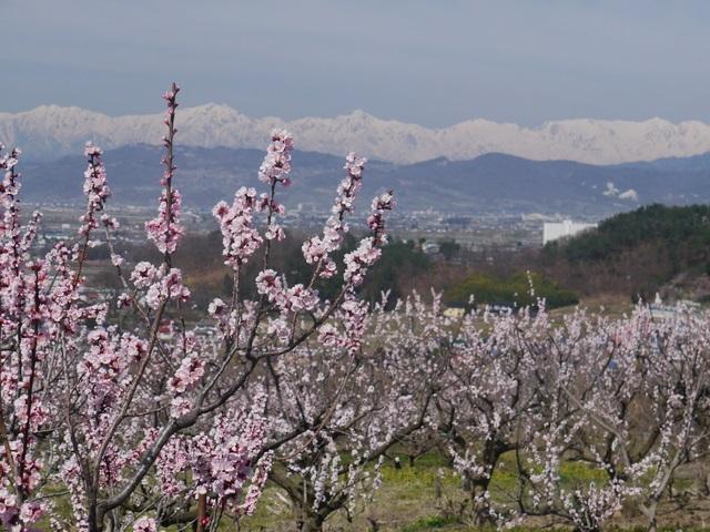 Anzunosato(Apricot Village)