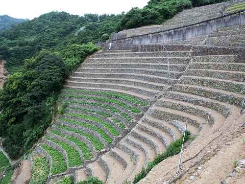 遊子水荷浦の段畑 (2)